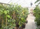 Why not pay us a visit and pick your own Citrus Tree at Global Orange Groves Uk