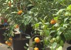 Blancol Orange Trees available from Global Orange Groves UK