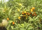 Ornamental Oranges available from Global Orange Groves UK