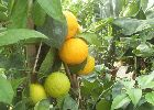We have a wide selection of citrus trees to choose from